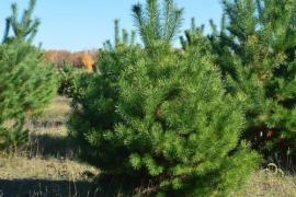 Festive offer live Christmas trees and pine trees in Bulk for the New year 201