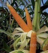 Купити насіння кукурудзи, високовисокі сорти