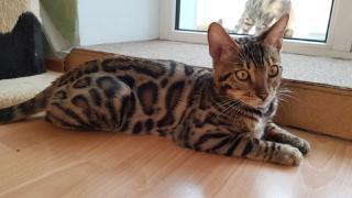 Продаж бенгальських кошенят. Вся Україна
